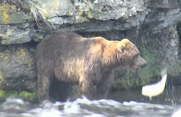 Watch Bears Play And Feast On Salmon On Google Earths Live Video - Google earth live