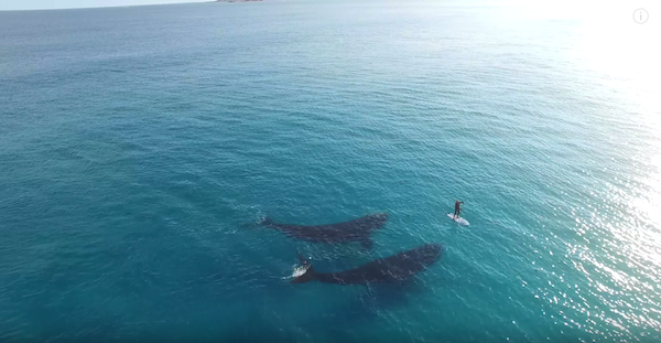 Breathtaking Drone Footage Of Whales Swimming With Lone Paddleboarder