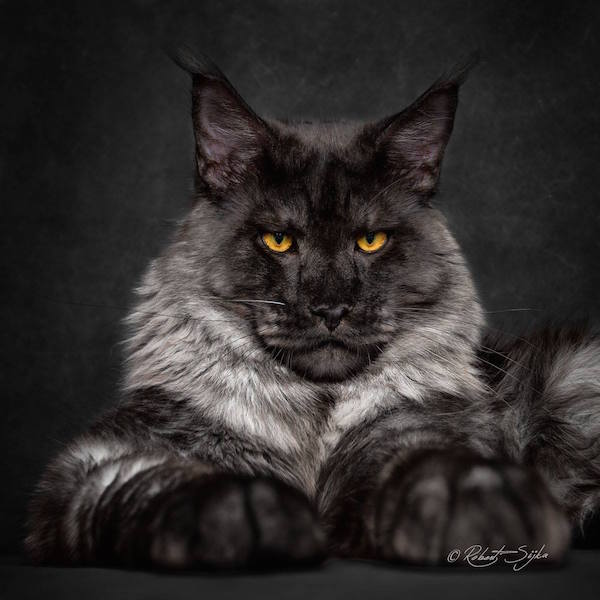 World S Largest Domestic Cat Breed
