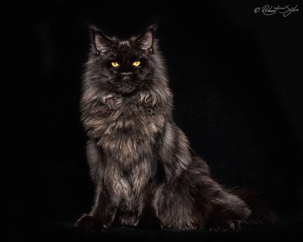 Maine Coon Cat Cafe