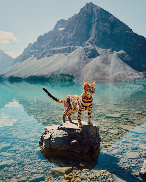 meet suki the adventurous bengal cat that hikes camps in the great outdoors. Black Bedroom Furniture Sets. Home Design Ideas