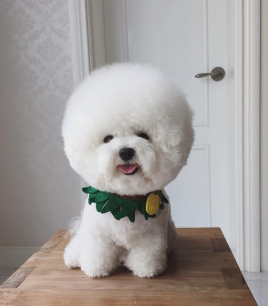 Dog That Looks Like A Cotton