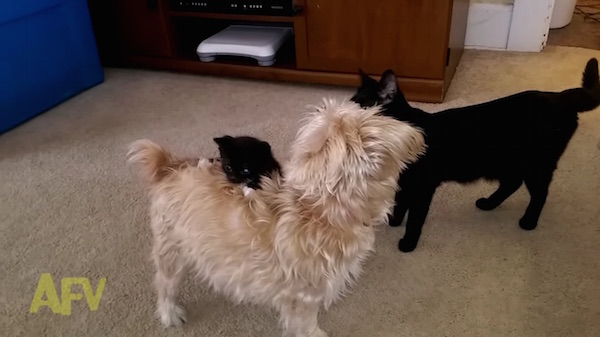 Watch: Kitten Tries To Hitch A Ride On Pup's Back, Leaves Dog Terribly Confused