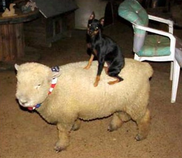 in cute photo series  animals riding other animals