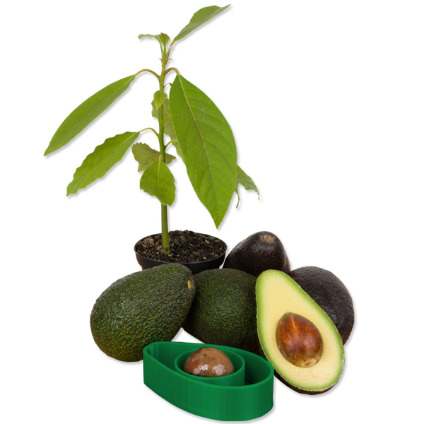 A simple tool that lets you grow your own avocado trees at for Grow your own avocado tree from seed