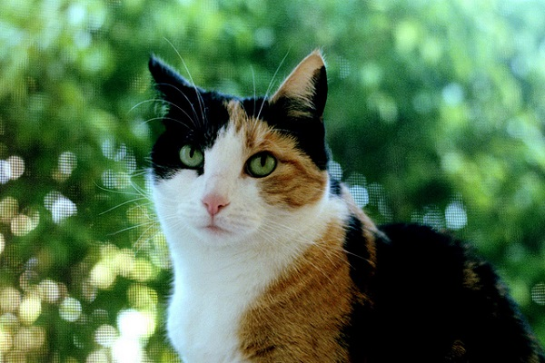 Revealed Why Calico Cats Are Almost Always Female -1330