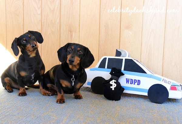 Texting While Driving >> Watch: Two Dachshunds Play 'Cops & Robbers' While Dressed ...