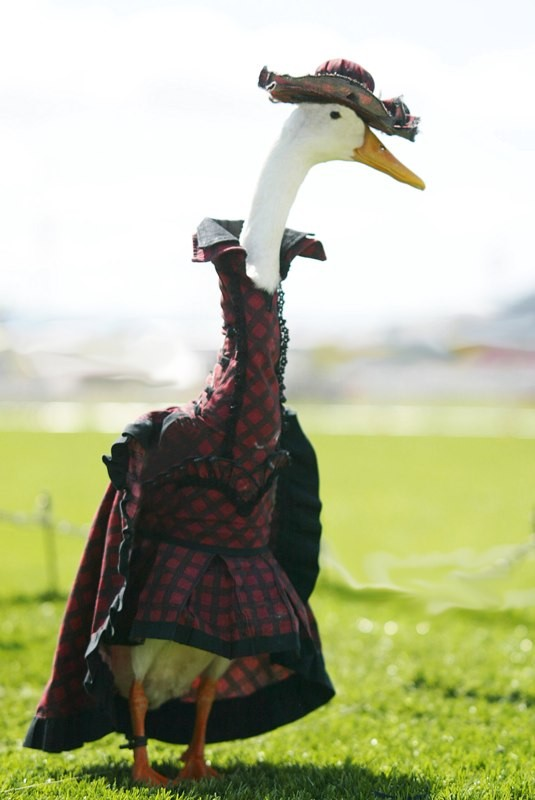 Farmer Hires Dressmaker To Style His Ducks In Fanciful