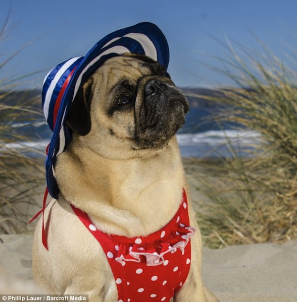adorable pictures of pugs dressed up as �lord of the rings
