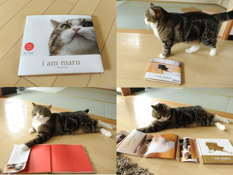 Maru The Scottish Fold Cat