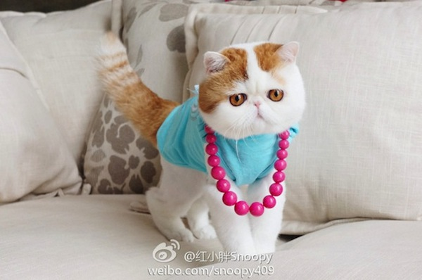 In China The Most Popular Cat Is An Adorable Flat Faced