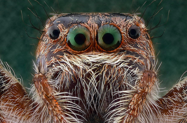 Jumping spider Jumping spider, Insect photos, Spider